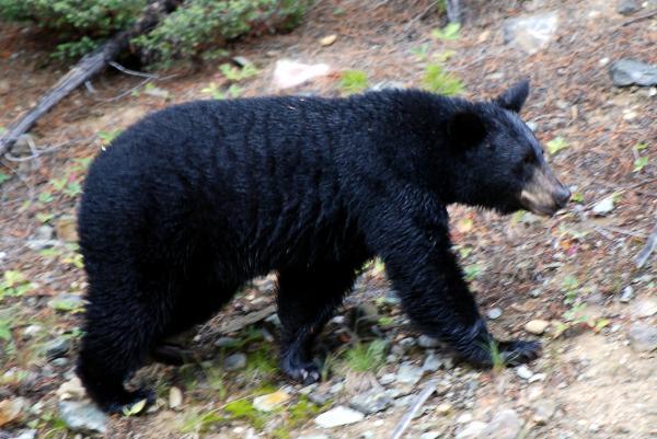 black-bear-wiki-236.jpg